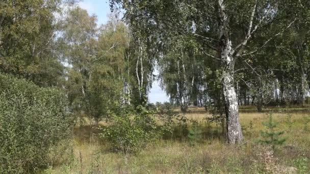 letní březový les