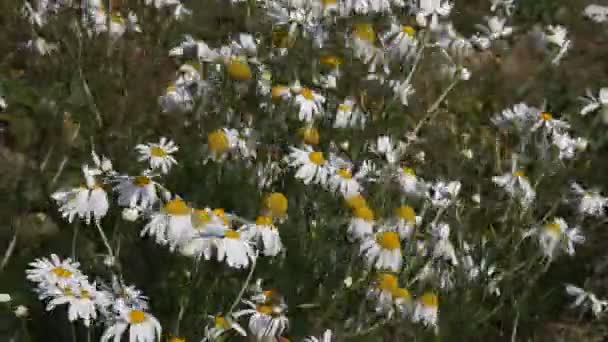 Daisies in a meadow on a clear day