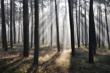 Mystic forest, sun rays entering trough the fog