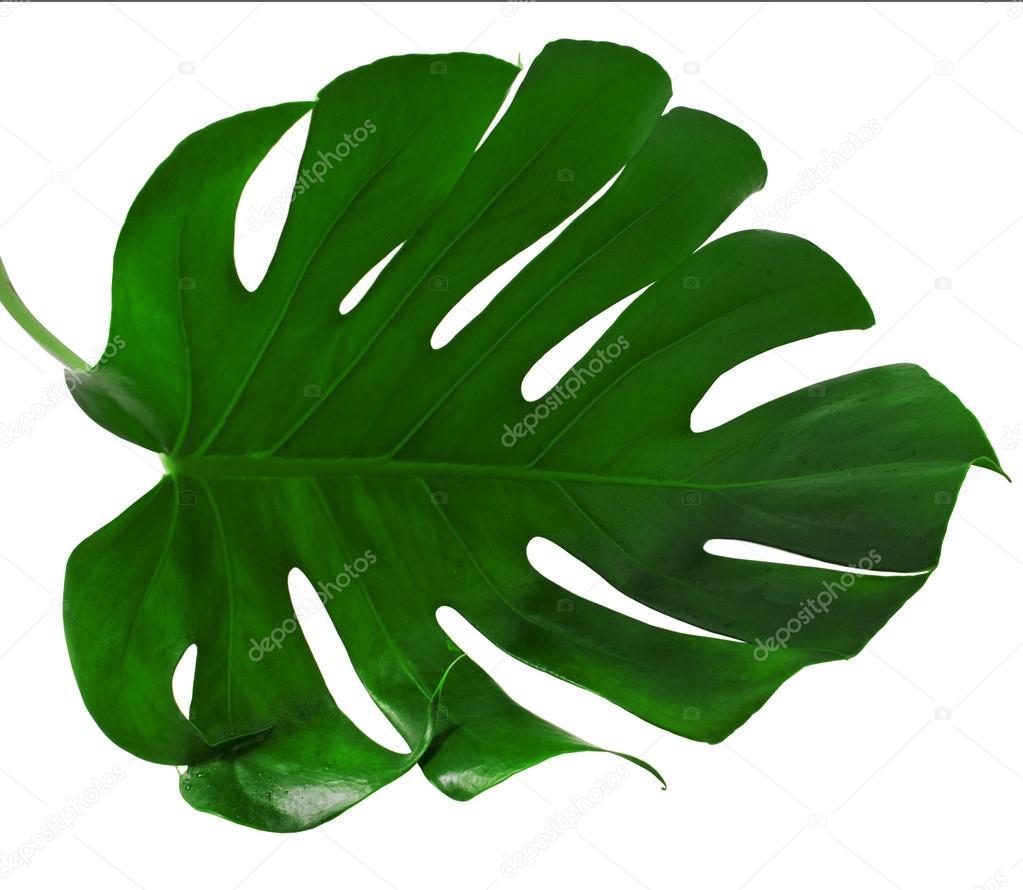 Leaf of Monstera plant