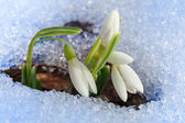 Fotografie Beautiful first snowdrops