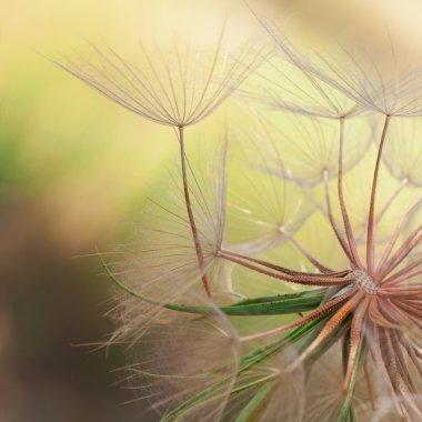 Seeds of a dandelion closeup