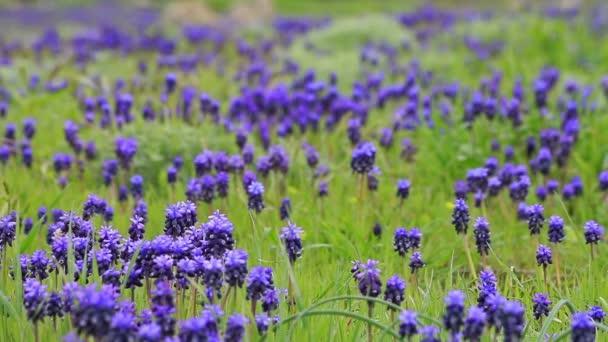 Hyacint květiny
