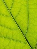Fotografie zelený list