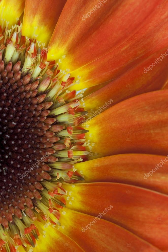 Beautiful gerbera flower, close up
