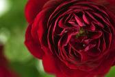 Virágok art Vértes. Vörös rózsa. Virágos, háttér