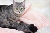 Gyönyörű skót fiatal macska
