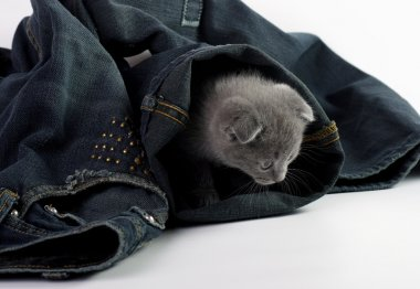 Young cat hiding in jeans