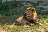 Hím oroszlán fekszik