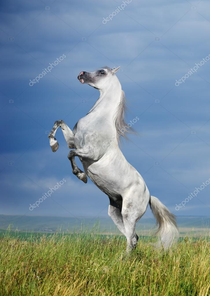 A Grey Arabian Horse Rearing Stock Photo C Dozornaya 19461197