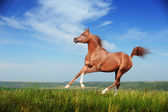 Beautiful red arabian horse running gallop