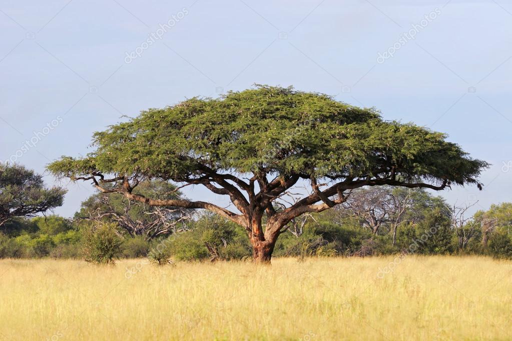 Africk ak cie strom stock fotografie ecopic 22436997 - Arbre africain en 7 lettres ...