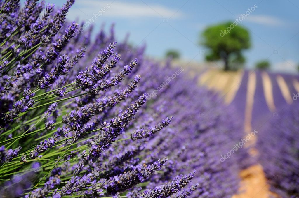 Field of lavender in Valensole, Provence