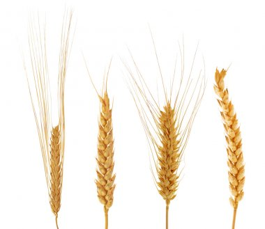 set of four ears of wheat