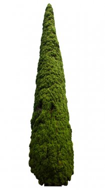Single green cypress isolated on white background stock vector