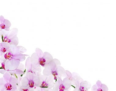 light pink orchid corner isolated on white