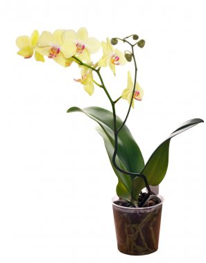 yellow orchid flower in pot on white background