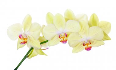 isolated orchid branch with lemon yellow flowers