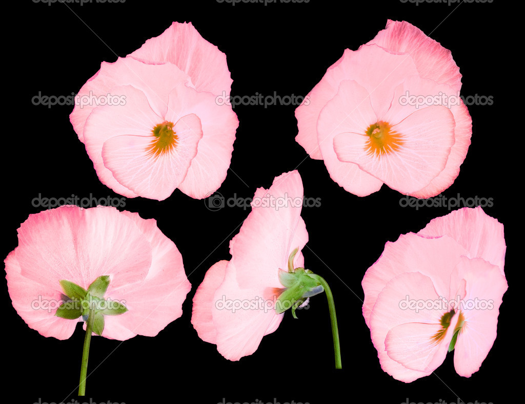 Pink pansy flower from different sides stock photo drs 24180295 pink pansy flower from different sides stock photo mightylinksfo Choice Image