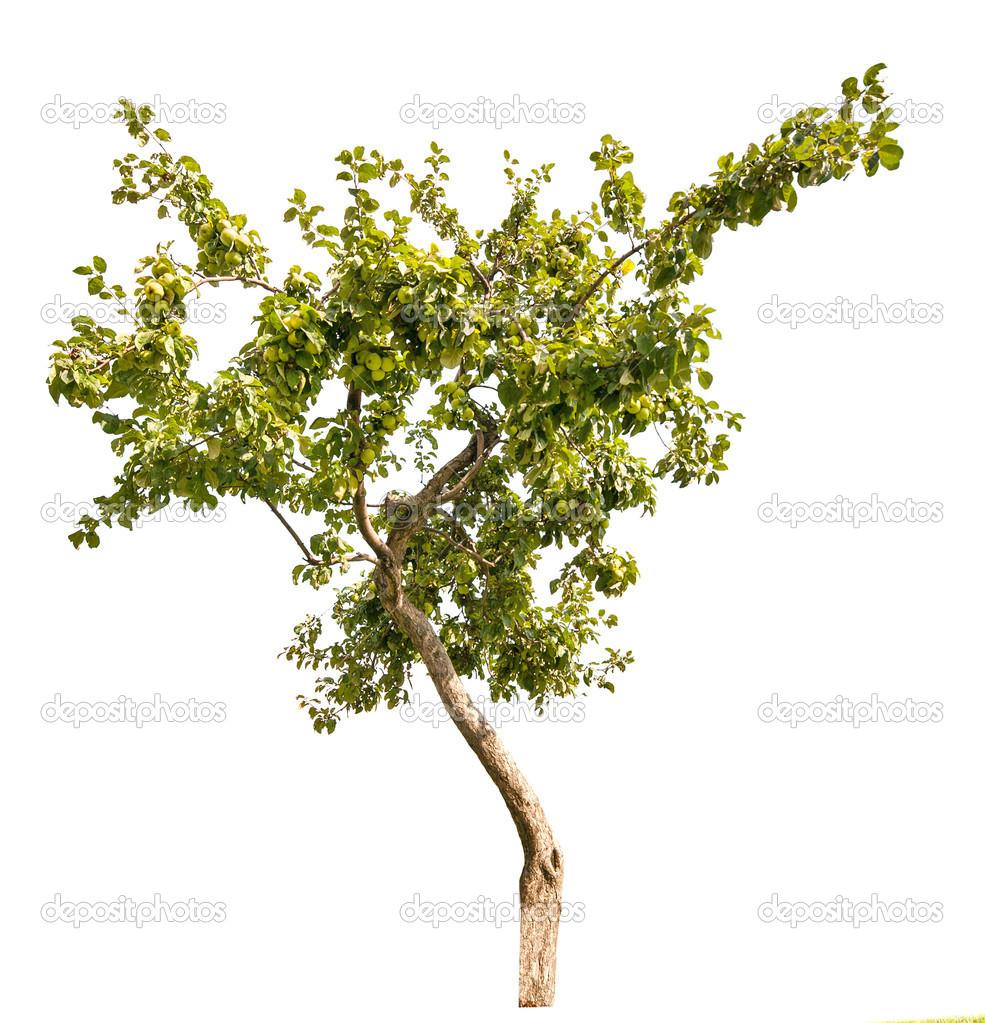kleiner apfelbaum mit gr nen fr chten stockfoto dr pas 24180339. Black Bedroom Furniture Sets. Home Design Ideas