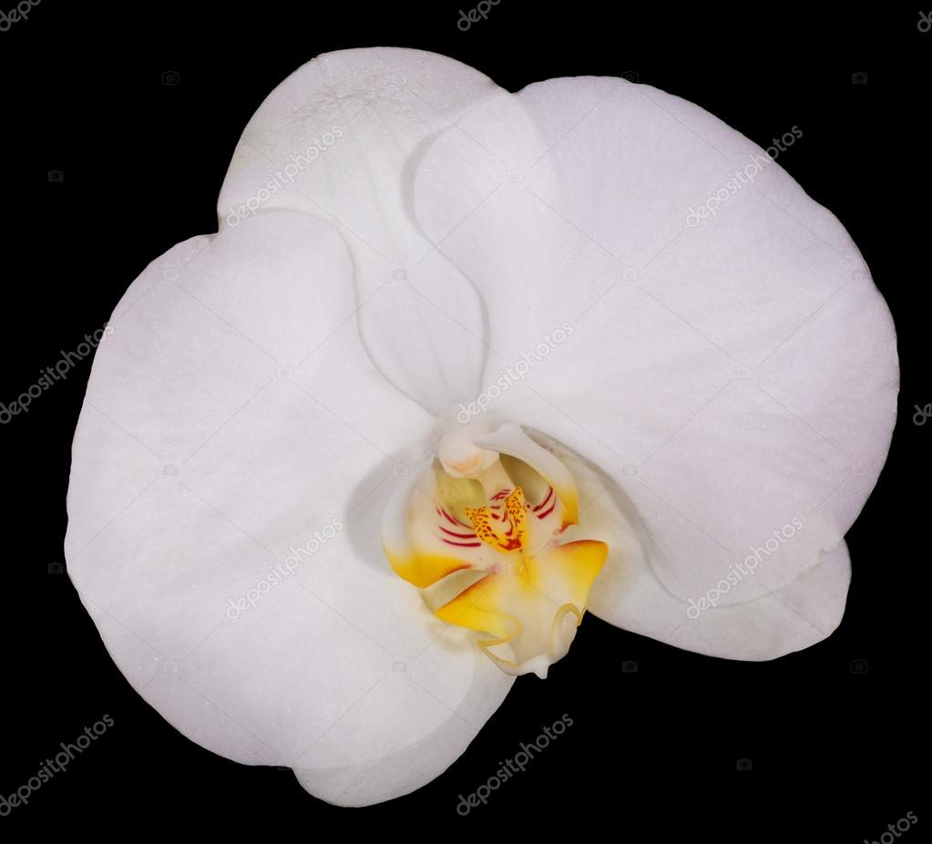 White orchid flower with yellow center on black stock photo dr white orchid flower with yellow center on black stock photo mightylinksfo