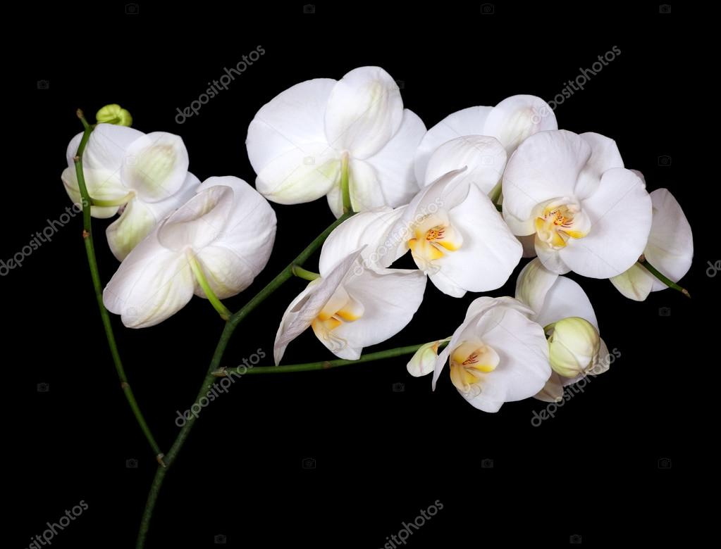 White Orchids With Yellow Centers On Black Stock Photo Drs