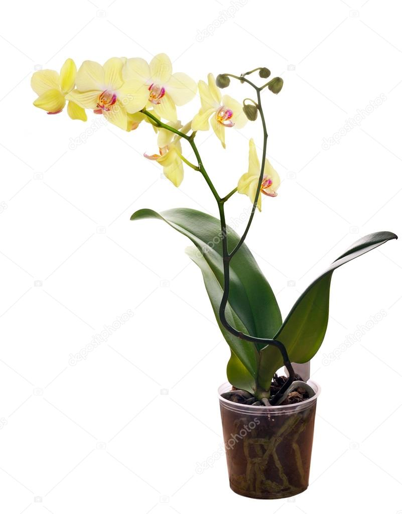 Yellow orchid flower in pot on white background stock photo dr yellow orchid flower in pot on white background stock photo mightylinksfo