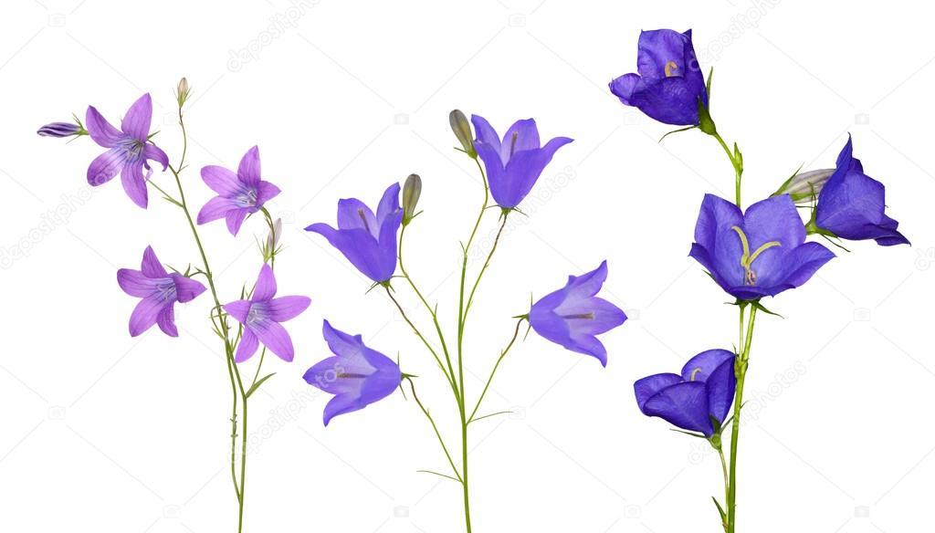 Колокольчик язык цветов