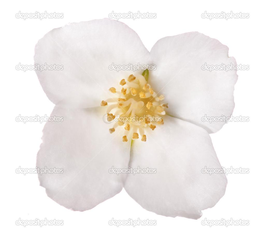 White Jasmine Isolated Single Flower Stock Photo Drs 24181423