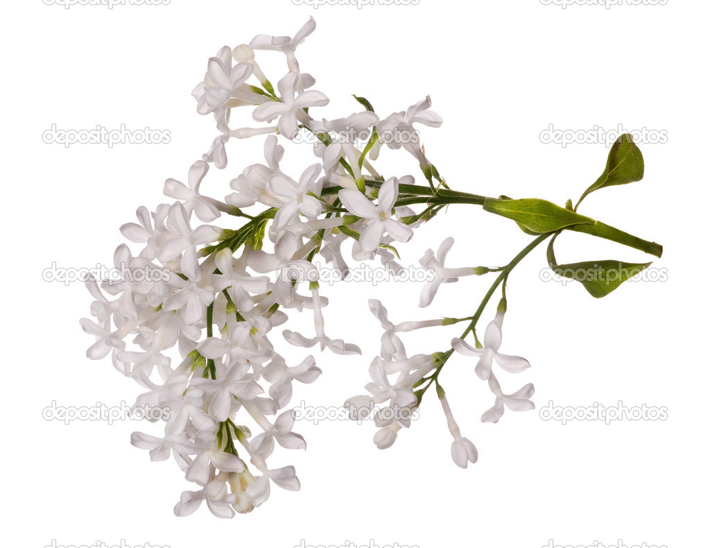 Isolated White Lilac Flower Branch Stock Photo Drs 24181637