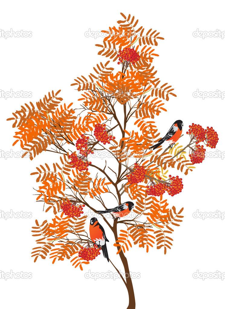 Рисунок рябины дерево. Осень рябина и Снегири — Векторное ...
