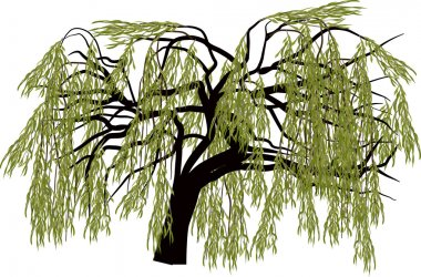 green willow tree isolated on white