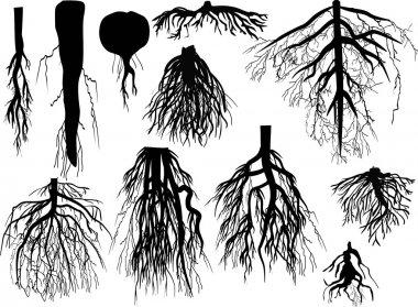 """Картина, постер, плакат, фотообои """"набор черных корней, изолированные на белом"""", артикул 34814791"""