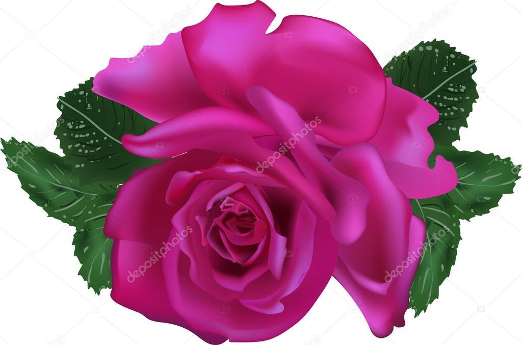 Dark Purple Rose Isolated On White Background Stock Vector