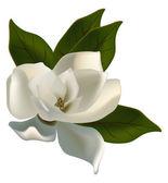 jediné magnolia květina izolované na bílém