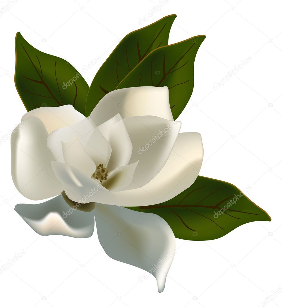 single magnolia flower isolated on white