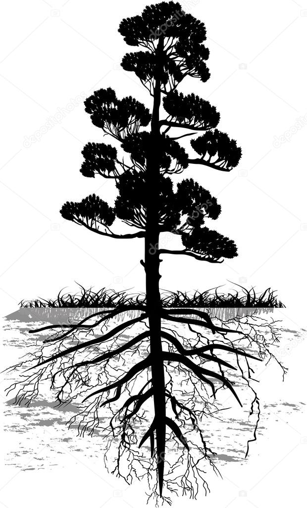 Isolated black pine tree with long root stock vector dr pas 34842017 - Pinne dive system ...