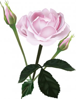pink rose and two buds on white