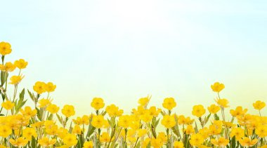 yellow buttercup flowers background