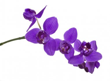 three petals violet orchids on branch