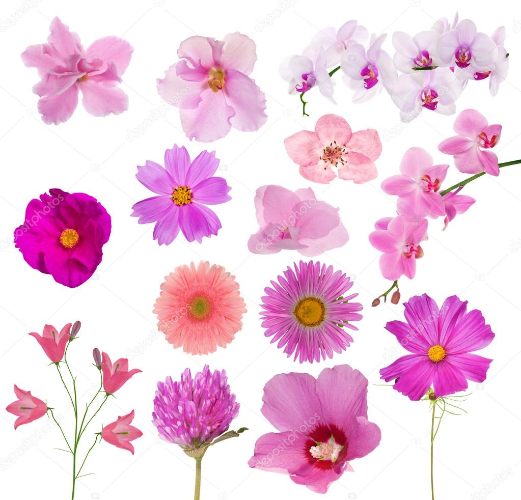 Set Of Fourteen Pink Color Flowers On White Stock Photo Drs