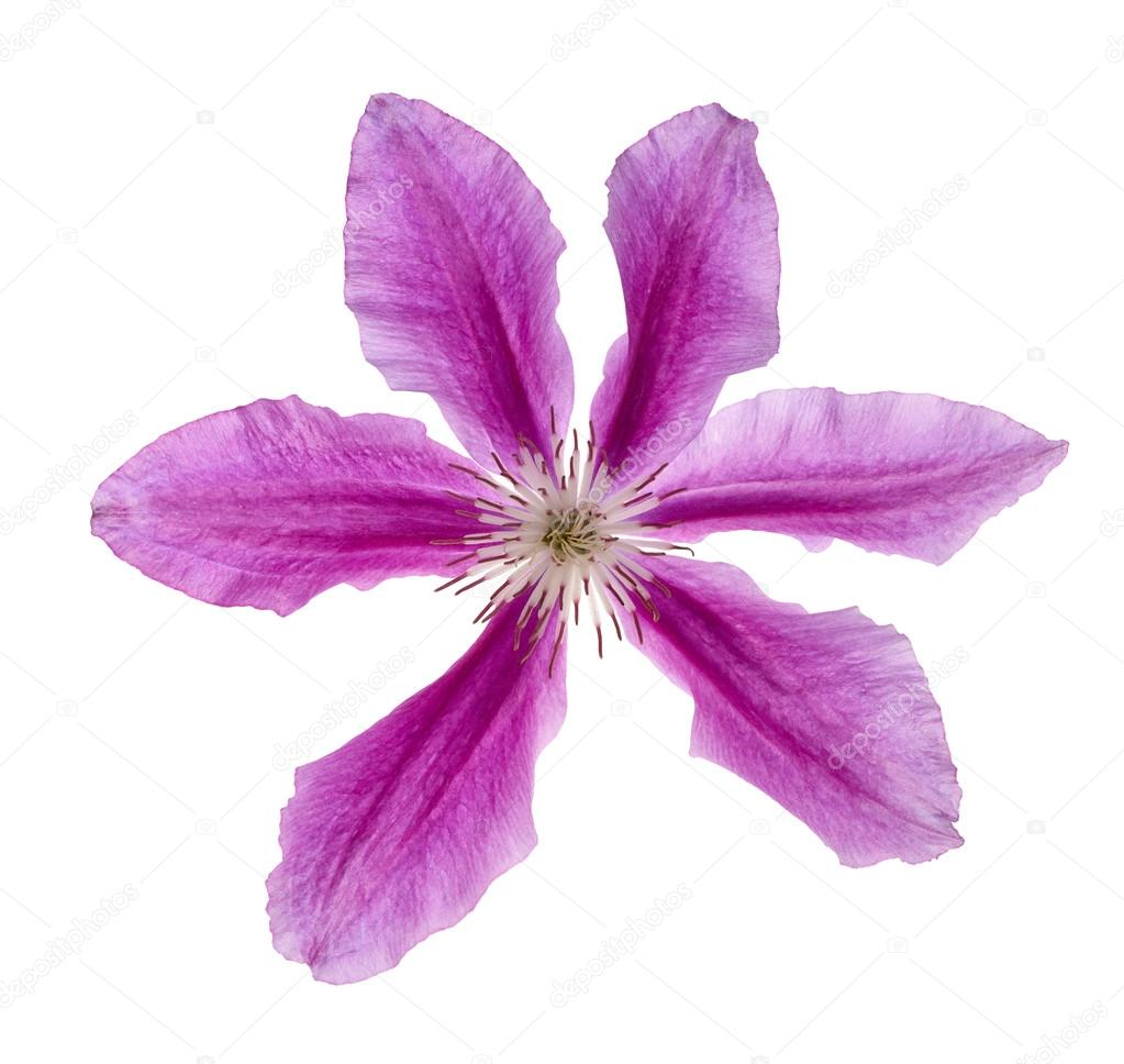 Six Petals Violet Flower Isolated On White Stock Photo Drs