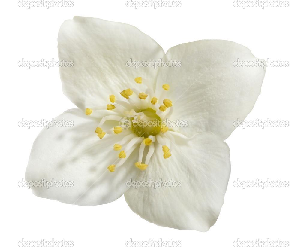 Light Jasmine Single Flower On White Stock Photo Drs 34880323