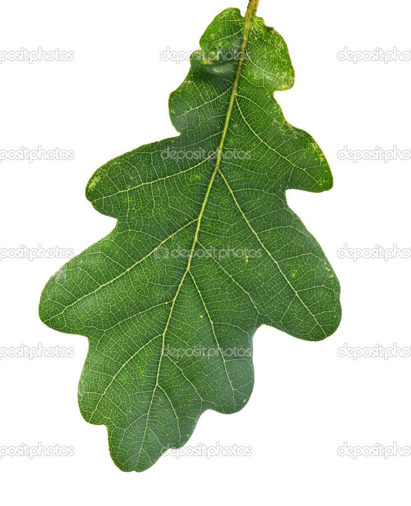 Im genes hojas de roble hoja de roble verde foto de - Fotos del roble ...