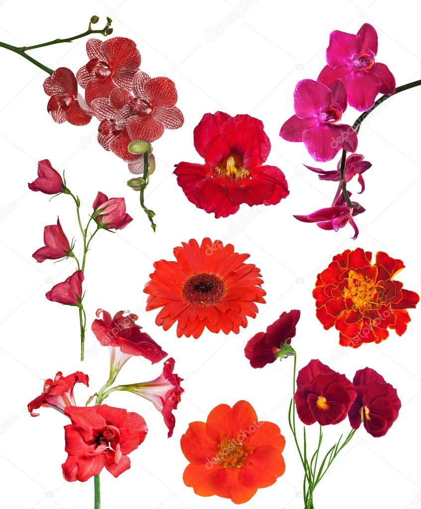 set of nine red color flowers isolated on white — Stock Photo © Dr ...
