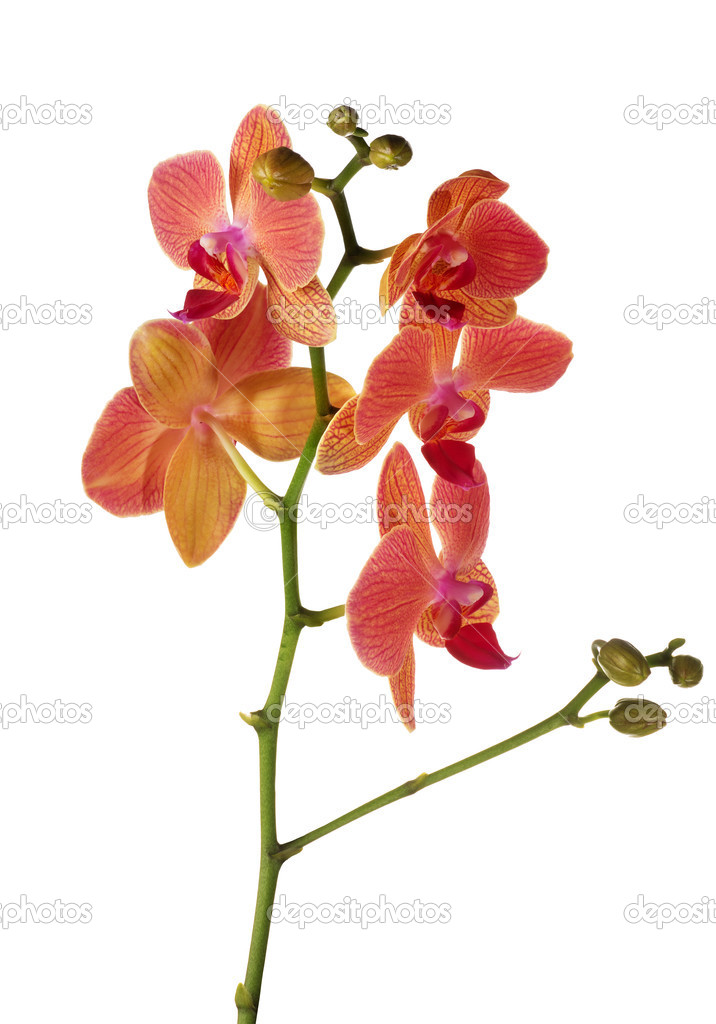 Branche Lumineuse Isole Fleur D Orchidee Rose Et Orange