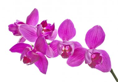 three petals isolated pink orchids
