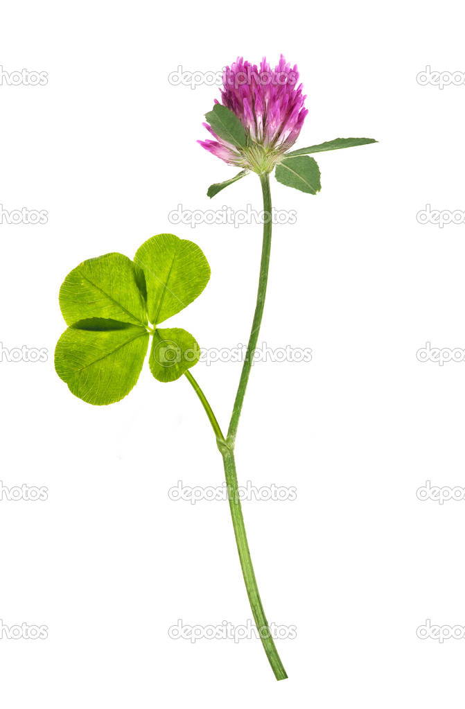 Pink clover flower and four element leaf stock photo drs four element clover leaf and pink flower isolated on white photo by drs mightylinksfo