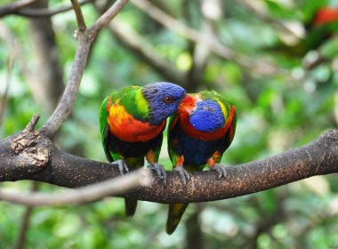 Pair of kissing parrots