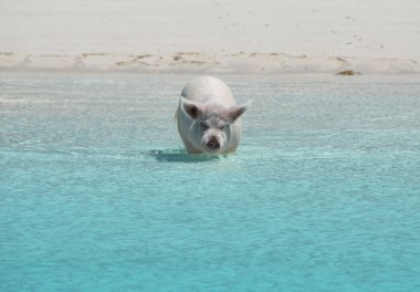 Famous swimming pigs of Exumas, Bahamas